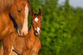 picture of colt  - Portrait mare with colt at sunrise in pasture - JPG