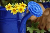 Gardening still-life with blue watering can.  Flowers and work gloves out of focus in the background