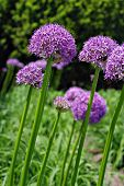 Giant purple allium flowers. (Allium Giganteum)  Shallow dof with selective focus on closest bloom