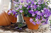 Tiny 'campanula get mee' (or bellflowers) in clay starter pots with spade and watering can.  Gardeni