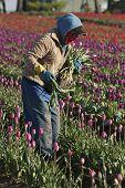 Tulpe-Worker