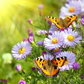 stock photo of beautiful flower  - two butterfly on flowers - JPG