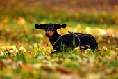 pic of dog park  - Happy dachshund dog in park - JPG