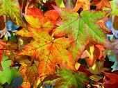 picture of fall decorations  - colorful autumn leaves - JPG