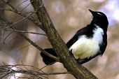 Willy Wagtail Landschaft