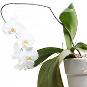 Whole orchid plant isolated on white
