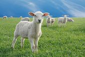 stock photo of mustering  - cute little lambs on fresh green meadow - JPG