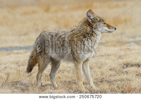 Wild Coyote In The Rocky