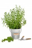 Pruning Oregano Herb