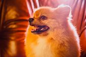 Cute Pomeranian Dog With Red Hair Like A Fox Resting On The Chair After Shearing. Toned Image. The C poster