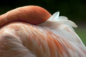 Caribbean Flamingo Nestled Into Delicate Feathers