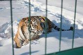 Close-up portrait of Siberian Tiger, Beautiful face portrait of Amur Tiger. poster