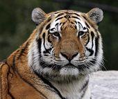 Perfil de tigre siberiano