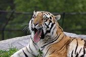 Enorme tigre siberiano
