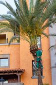 Worker Who Pruning Palm Trees. Tree Surgeon In Harness Trims Palm Tree. poster