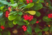 Close-up Of Beautiful Subtropical Red Madagasca Euphorbia Milii Plant Shot In Queensland, Australia  poster