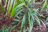 Close-up Of Beautiful Subtropical Palm Plant Shot In Queensland, Australia In Summer poster