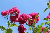 Delicate Flowers Of Climbing Rose Bloom In Garden Near House. Beautiful Roses Growing Near House. Pi poster