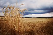 Wheat Spikes In Land With Menacing Storm Coming poster