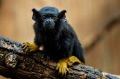 Golden Handed Tamarin. Tamarin Saguinus Midas Sitting On Branch. Wild Life Animal. poster