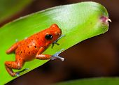 red poison dart frog blue legs beautiful rainforest species of costa rica and panama kept as a pet in a terrarium ,oophaga pumilio exotic amphibian poster