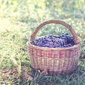 Dark Grapes In A Basket. Grape Harvesting. poster