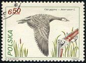 Greylag Goose And Shotgun