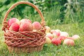 Red Ripe Apples In A Wicker Basket And On Green Grass In The Orchard. Fresh Ripe Apples In The Summe poster