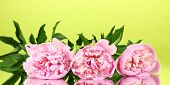 Three pink peonies on green background