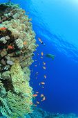 Coral Reef and Tropical Fish with turtle in background