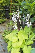Hostas In Bloom Along Garden Path