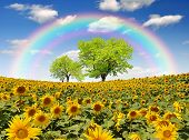 rainbow above the sunflower field with tree