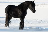 picture of shire horse  - Black horse in a cold winter pasture