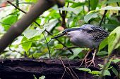 Striated Mangrove Heron