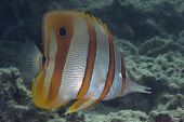 Long-beaked Coralfish Butterflyfish