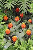 picture of tillandsia  - Orange flowers guzmania conifera beautiful green leaves - JPG