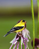 stock photo of goldfinches  - A close up shot of a male American Goldfinch  - JPG