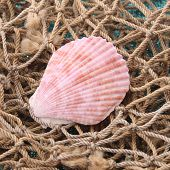 Sea shells with net