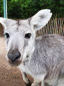 Постер, плакат: Серый Baby кенгуру