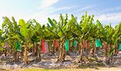 image of bunch bananas  - Banana plantaition against blue sky topdressed with gypsum - JPG