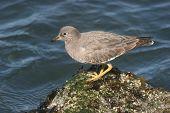 Surfbird On Rock