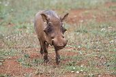 Warthog In His Environment