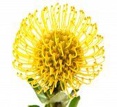 stock photo of rare flowers  - yellow protea flower isolated on white background - JPG