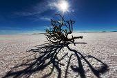 Dry tree in  Salar de uyuni, Bolivia