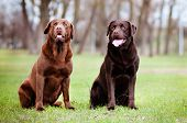 pic of chocolate lab  - two brown labrador retriever dogs on the grass - JPG