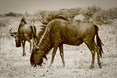Two wildebeest grazing