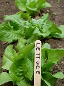 Garden Leaf Lettuce
