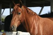 stock photo of brown horse  - brown horse portrait  on a ranch  animal - JPG