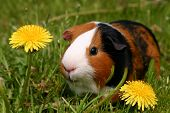pic of guinea pig  - a guinea pig or cavy sitting in a spring field with flowers