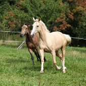 Two Palomino Horses Running